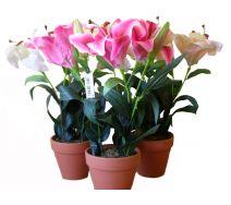 Kwiat Lilia